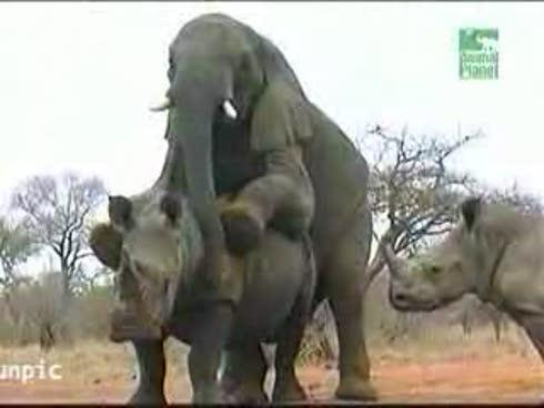 http://elcuarenta.files.wordpress.com/2009/12/elefante-cogiendose-a-un-rinoceronte_imagengrande.jpg